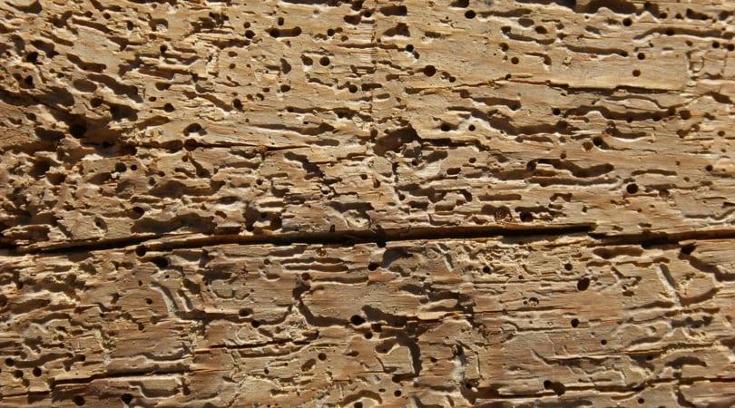 Damaged Wood by pests Hammond Lumber