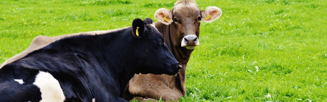 Dairy Cows Hammond Lumber Company