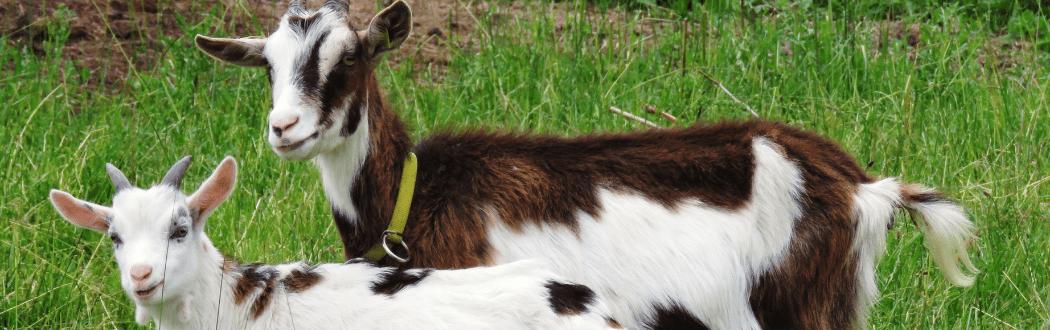 Goat Feed Hammond Lumber Company